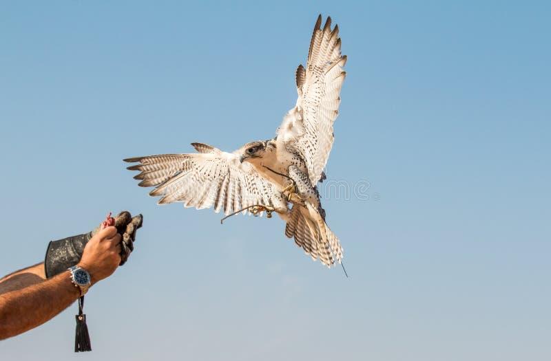 Męski saker jastrząbek podczas sokolnictwo lota przedstawienia w Dubaj, UAE zdjęcie stock