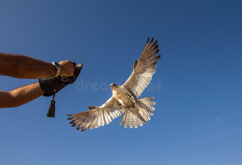 Męski saker jastrząbek podczas sokolnictwo lota przedstawienia w Dubaj, UAE obrazy stock