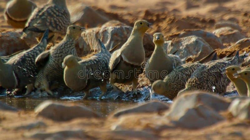 Męski sandgrouse chwyta napój i zbiera wodę dla jego kurczątek Używać szczególnie, dostosowani piersi piórka może moczyć w górę zdjęcia stock