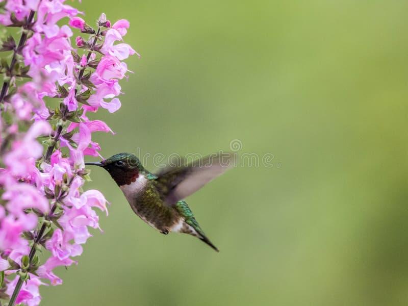 Męski Throated Hummingbird karmi na Łąkowej mędrzec w S zdjęcia stock