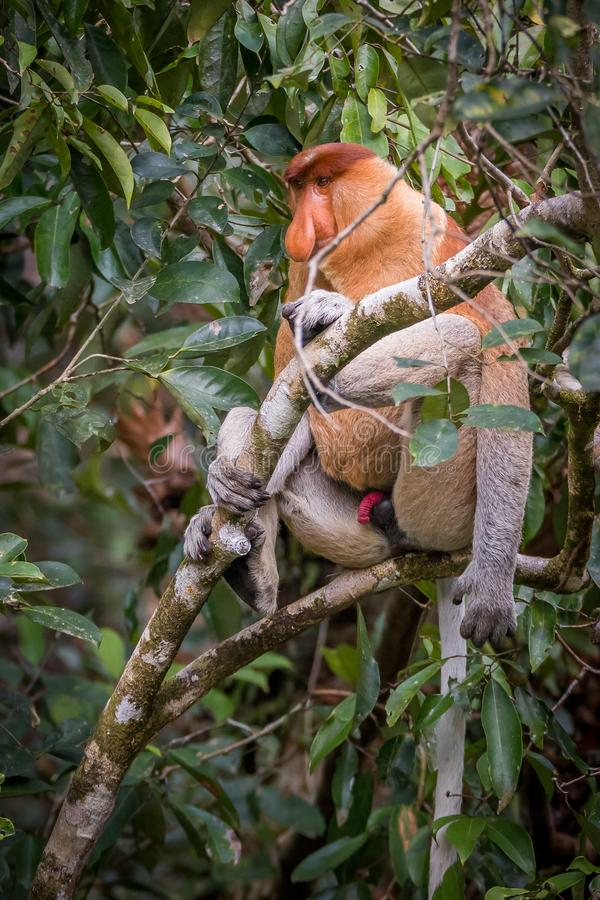 Męski Trąbiastej małpy Nasalis larvatus obraz stock