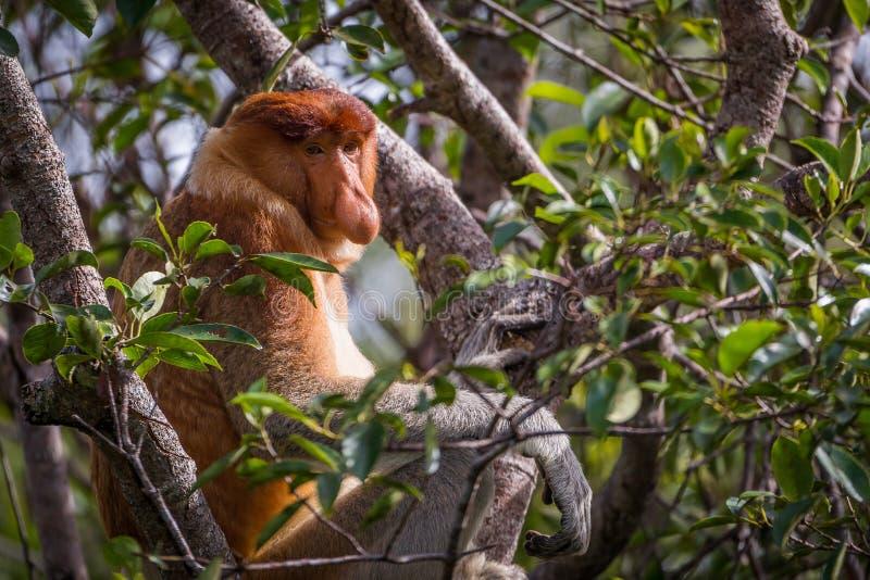 Męski Trąbiastej małpy Nasalis larvatus obraz royalty free