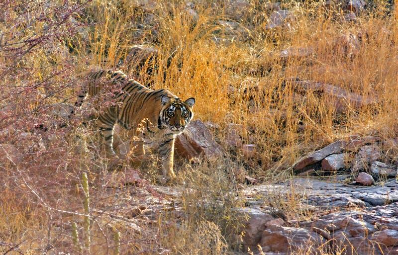 Męski tygrysi lisiątko zdjęcie royalty free