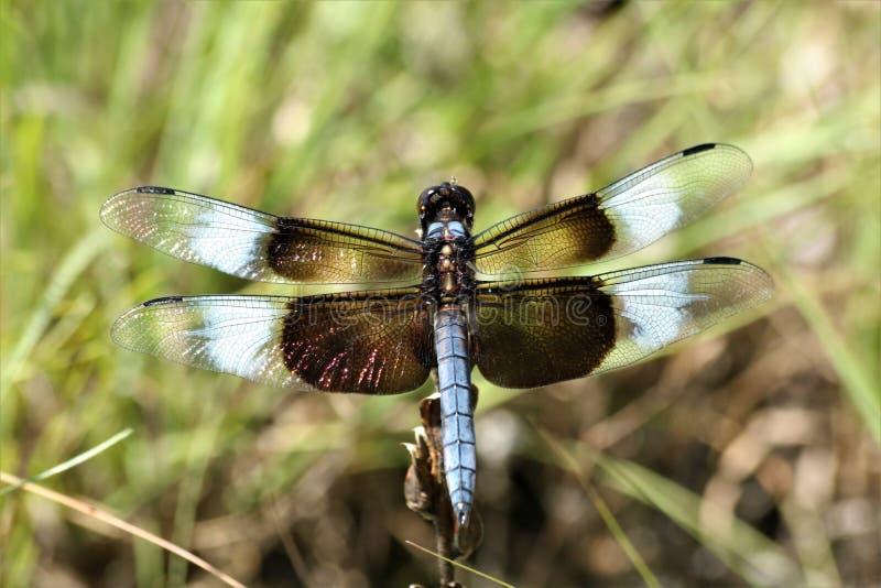 Męski Wdowi Cedzakowy Dragonfly Odgórnego widoku zbliżenie obraz royalty free