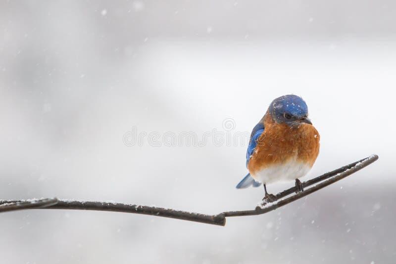 Męski Wschodni Bluebird Sialia sialis obrazy stock