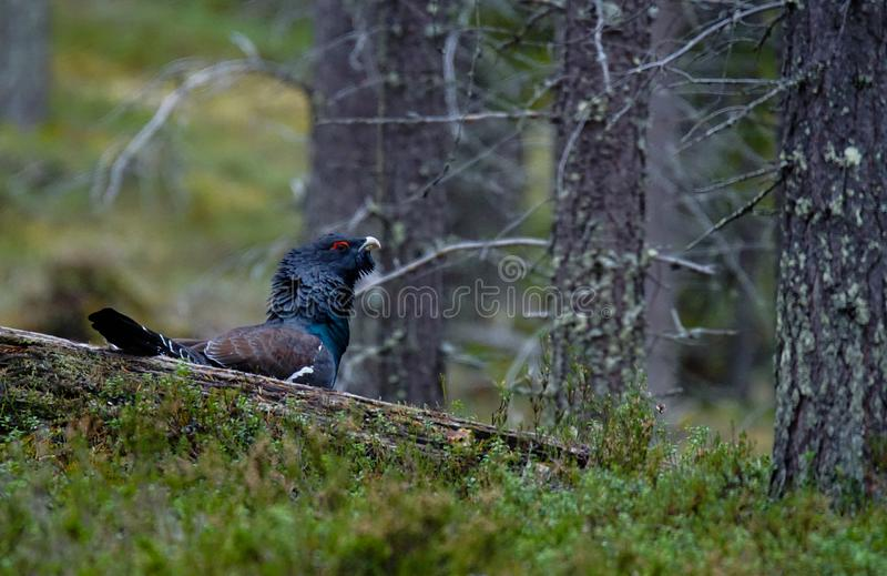 Męski Zachodni capercaillie w dzikim Lapland, Finlandia zdjęcia royalty free