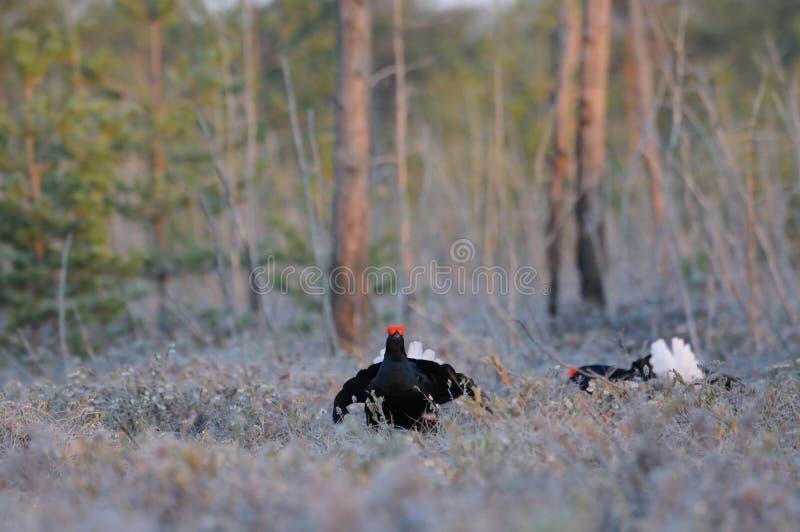 Męskie Czarne pardwy przy bagno konkury umieszczają wcześnie w ranku zdjęcie stock