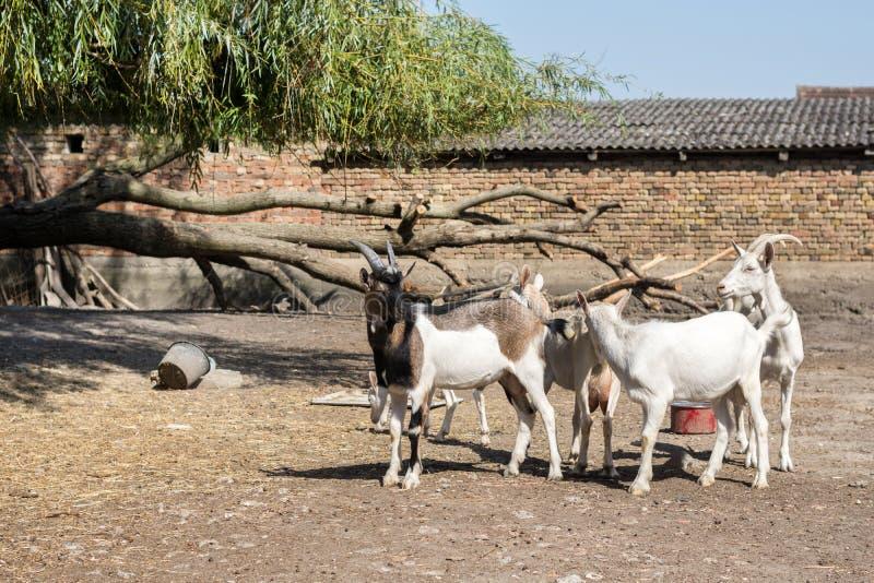 Męskie i żeńskie kózki w jardzie na rolnej nieruchomości obraz stock
