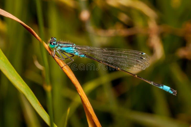 Męskiego dragonfly damselfly Coenagrion lazurowy puella zdjęcia stock