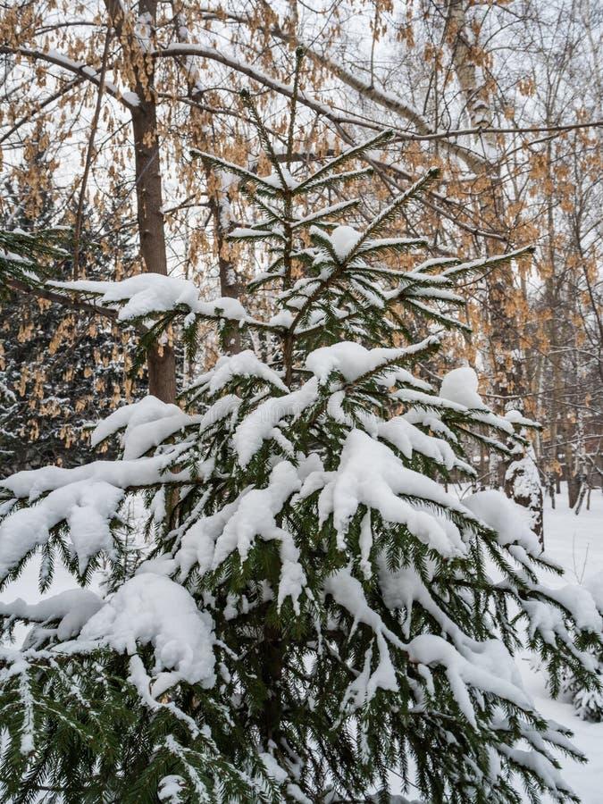 Młoda świerczyna pod ostatnio spadać śniegiem w Novosibirsk, Rosja zdjęcie royalty free
