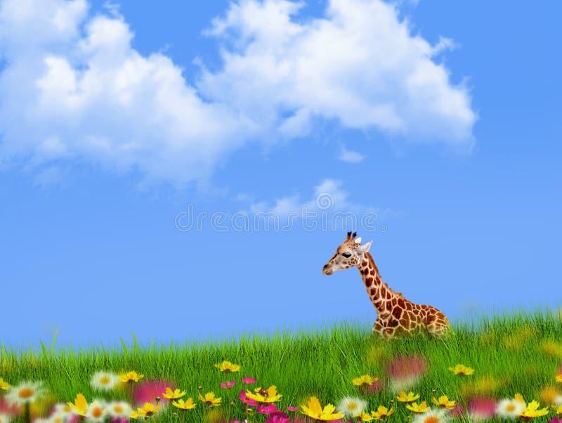 Młoda żyrafa spoczywająca w trawie obrazy stock