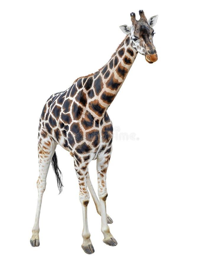 Młoda żyrafa stoi pełną długość odizolowywającą na białym tle Śmieszny chodzący żyrafy zakończenie up Zoo zwierzęta odizolowywają zdjęcia royalty free