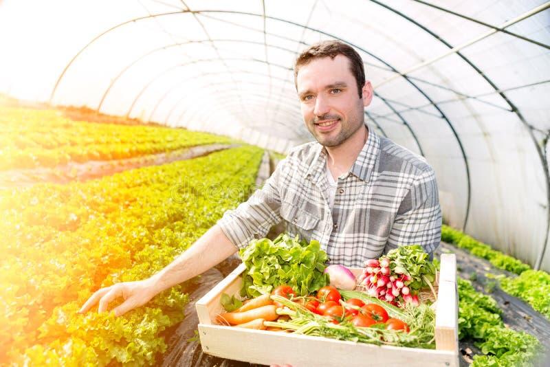 Młoda atrakcyjna kobieta zbiera warzywa w szklarni zdjęcie royalty free