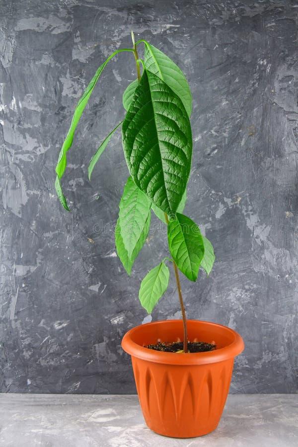 Młoda avocado flanca z liśćmi w garnku z ziemią Szary zmroku betonu tło Drzewo avocado obraz royalty free