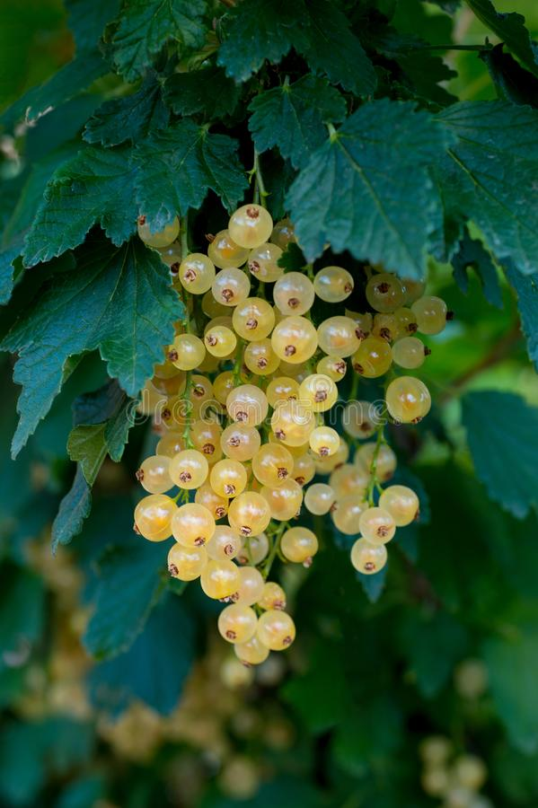 Młoda białego rodzynku gałąź z zieleń liśćmi i dojrzałymi jagodami fotografia stock