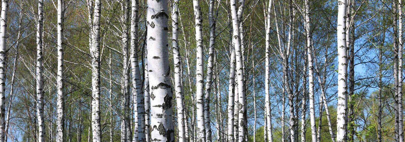 Młoda brzoza z czarny i biały brzozy barkentyną w wiośnie zdjęcie royalty free