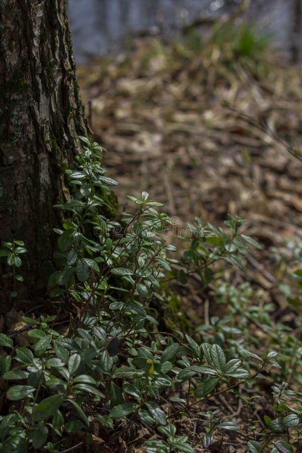 Młoda czarna jagoda kiełkuje drzewem zdjęcia stock