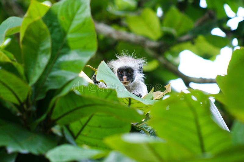 Młoda czerwona colobus małpa Piliocolobus, Procolobus kirkii chuje za liśćmi w drzewach Jozani las, Zanzibar obraz stock