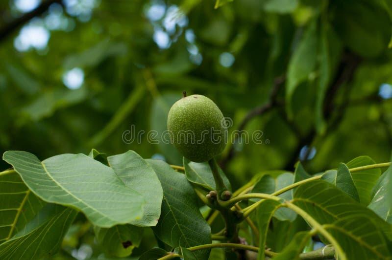 Młoda dokrętka na drzewie Zielona owoc na drzewie zdjęcie stock