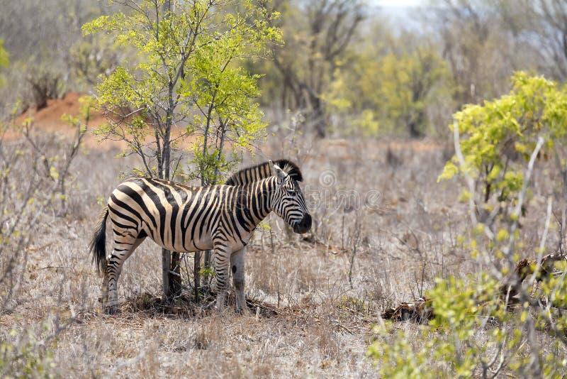 Młoda dorosła zebra zdjęcie stock