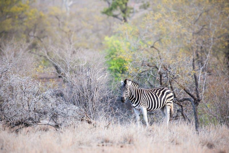 Młoda dorosła zebra w Kruger parku narodowym zdjęcia stock