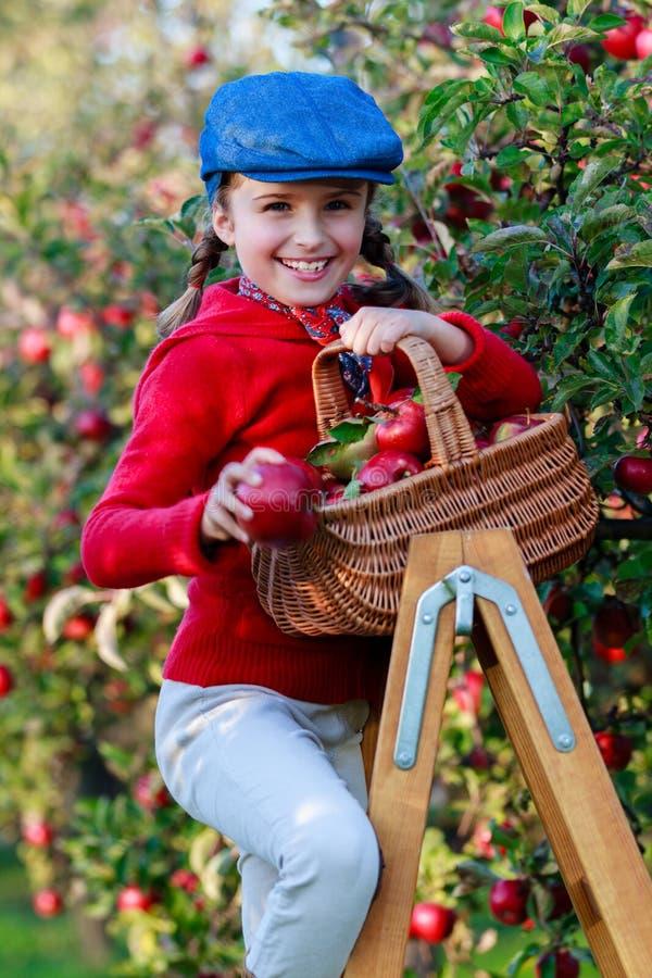 Młoda dziewczyna podnosi organicznie jabłka w Basket.Orchard. zdjęcie stock