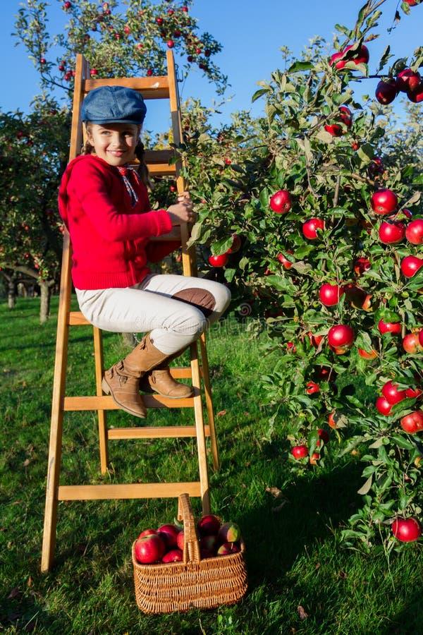 Młoda dziewczyna podnosi organicznie jabłka w Basket.Orchard. zdjęcia royalty free
