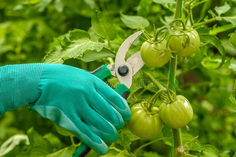 Młoda dziewczyna pracuje w szklarni Uprawa przemysłowa warzyw obraz royalty free