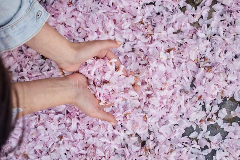 Młoda dziewczyna trzyma spadać różowych czereśniowych Sakura płatki w jej rękach zdjęcie stock