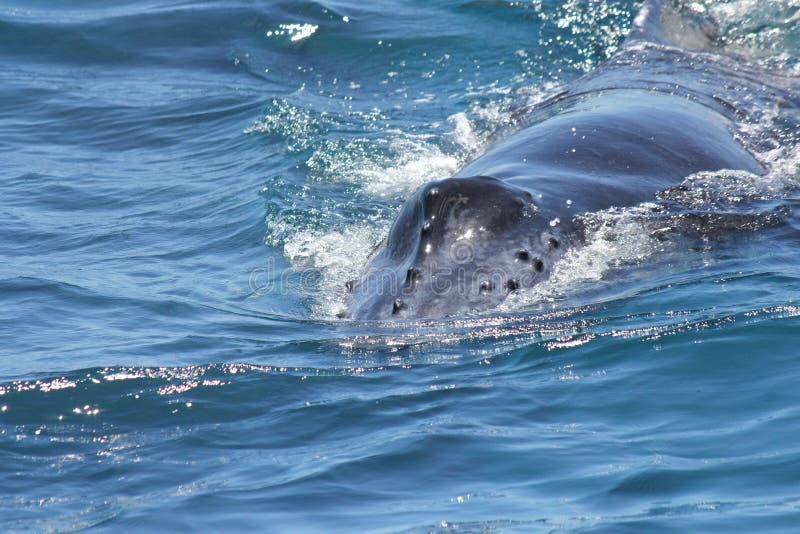 Młoda Humpback wieloryba Hervey zatoka 5 obraz stock
