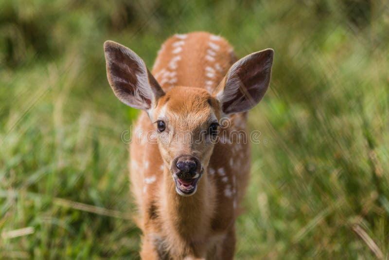 Młoda jelenia pozycja w trawie z uśmiechem na pogodnym lata popołudniu obrazy stock