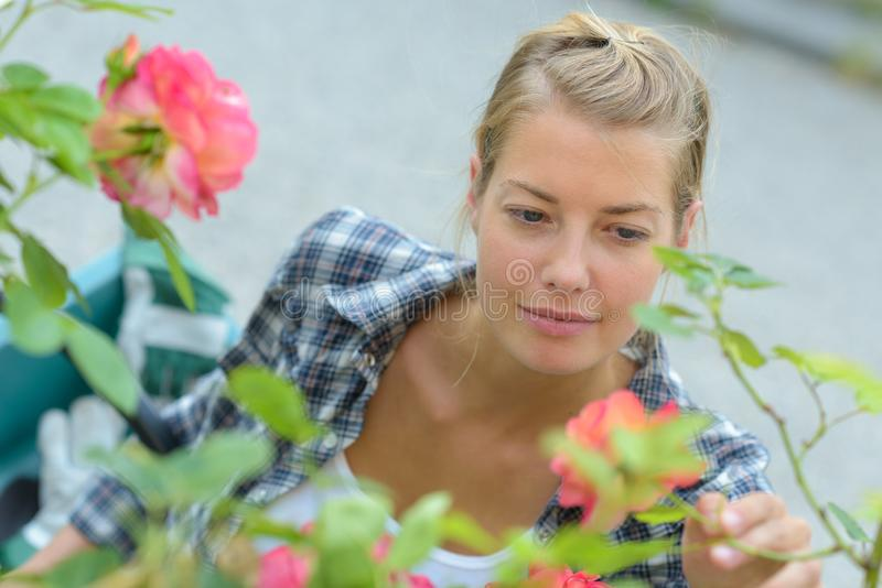 Młoda kobieta patrzeje różanego krzaka zdjęcie royalty free