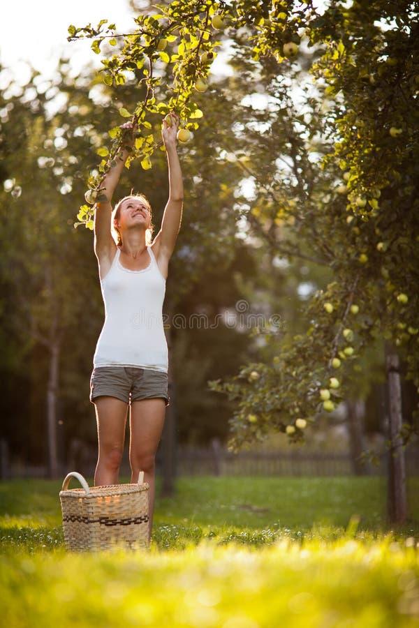 Młoda kobieta up na drabiny zrywania jabłkach od jabłoni zdjęcia stock