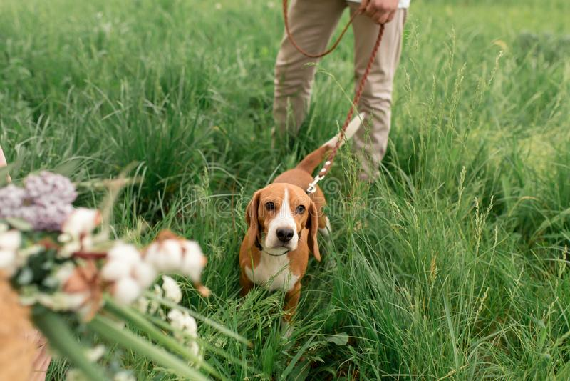 Młoda kochająca para ma zabawę i bieg na zielonej trawie na gazonie z ich ukochanym domowym psem hodujemy Beagle i a zdjęcie stock
