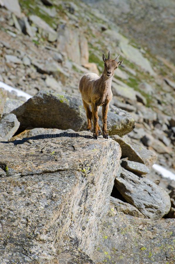 Młoda koziorożec na kamieniu skalista góra w Granu Paradiso parka narodowego faun przyrodzie zdjęcia stock