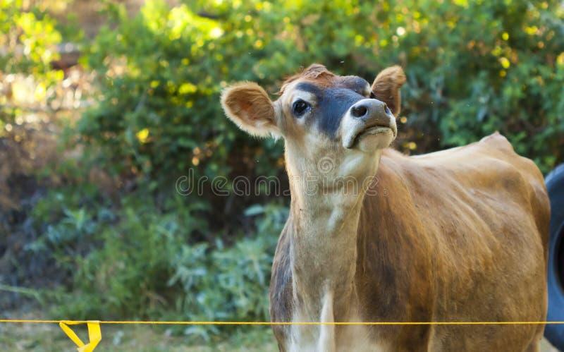 Młoda Krowa zdjęcia royalty free