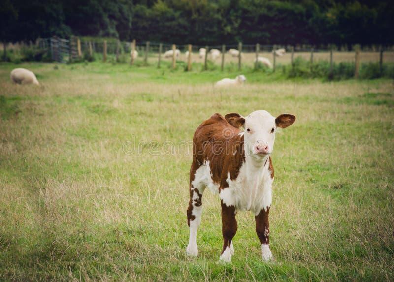 Młoda krowy pozycja obrazy royalty free
