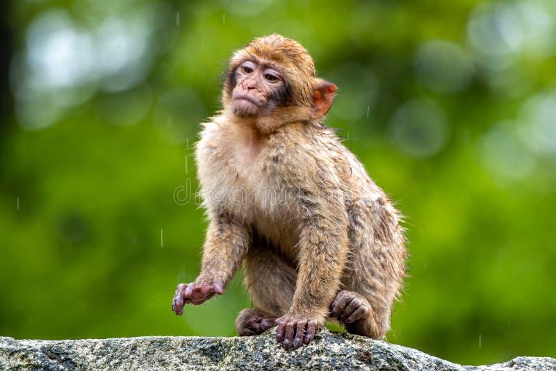 Młoda Macaca sylvanus małpa w deszczu obrazy stock
