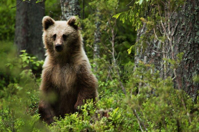 Młoda niedźwiadkowego lisiątka pozycja w tajga lesie zdjęcie royalty free