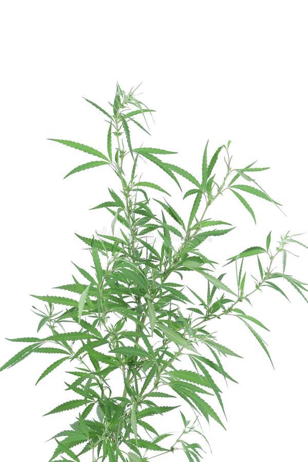 Młoda nowa narastająca marihuany roślina obraz royalty free