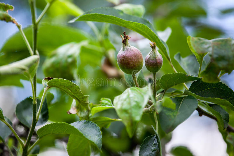 Młoda owoc po kwiatonośnego jabłczanego obwieszenia na drzewie fotografia royalty free