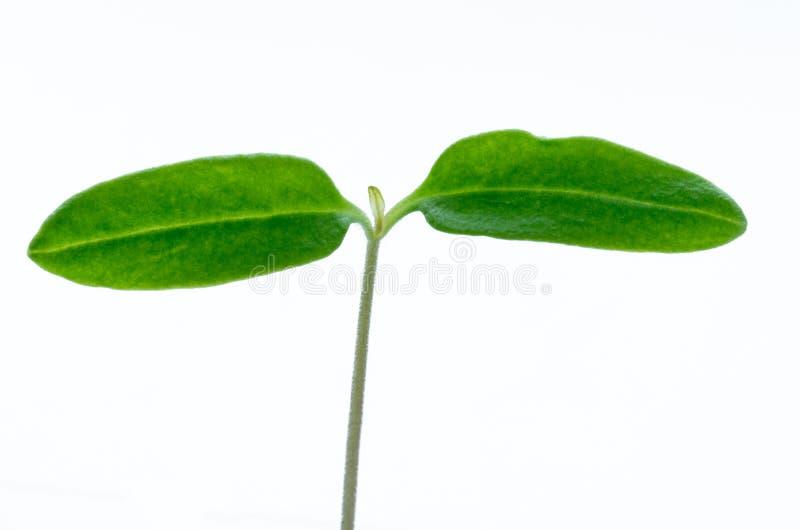 Młoda pomidorowa roślina odizolowywająca na białym tle zdjęcia royalty free