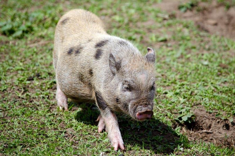 Młoda potbelly świnia obrazy stock