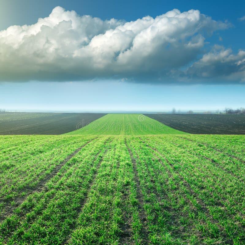 Młoda pszeniczna uprawa w polu przeciw wielkiej burzy chmurze zdjęcie royalty free