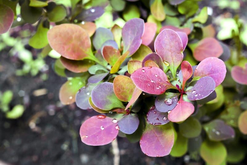 Młoda roślina Berberis thunbergii atropurpurea w wiośnie zdjęcia stock