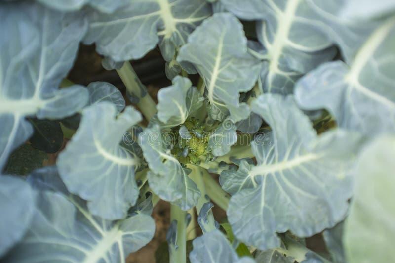 Młoda roślina brokuły nad narzędzie błękitny stonowany widok fotografia stock