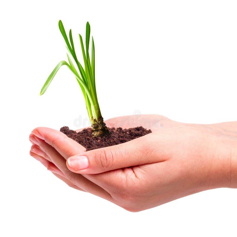 Młoda roślina w rękach
