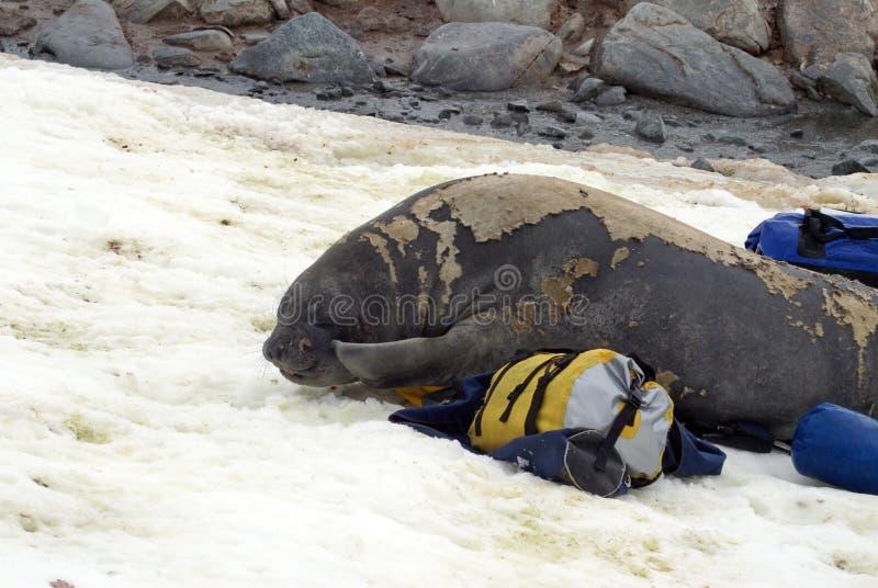 Młoda słoń foka w molt na molton torbach obraz stock
