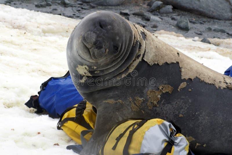 Młoda słoń foka w molt na molton torbach fotografia royalty free