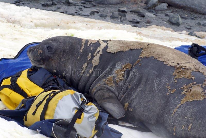 Młoda słoń foka w molt na molton torbach obrazy royalty free